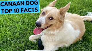 Canaan Dog - TOP 10 Interesting Facts