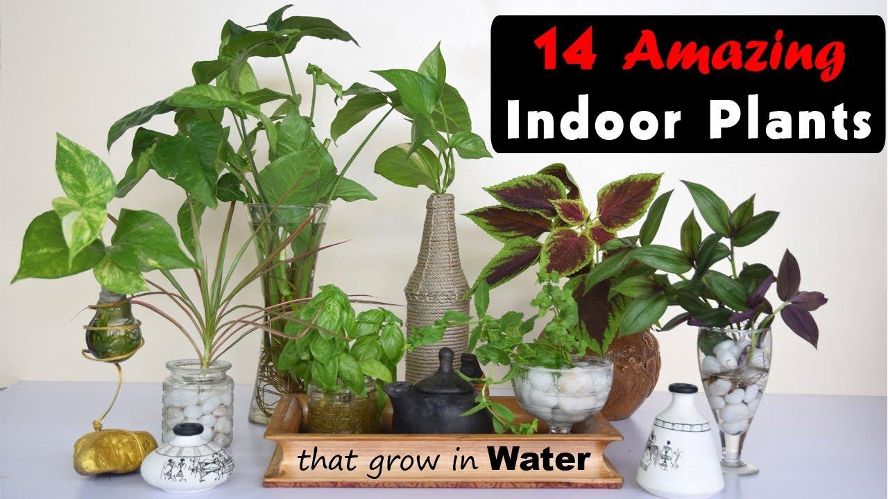 20 Amazing Indoor Plants That Grow In Water   Balcony Garden Web