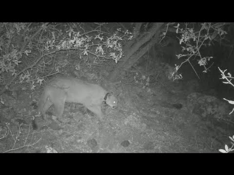 Lions of West Texas - Texas Parks & Wildlife [Official]