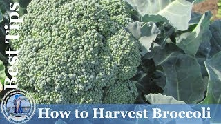 HD How to Grow & Harvest Broccoli