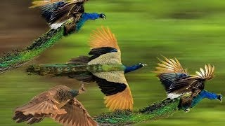 Mass Flying Giant Peacocks (Peafowls)
