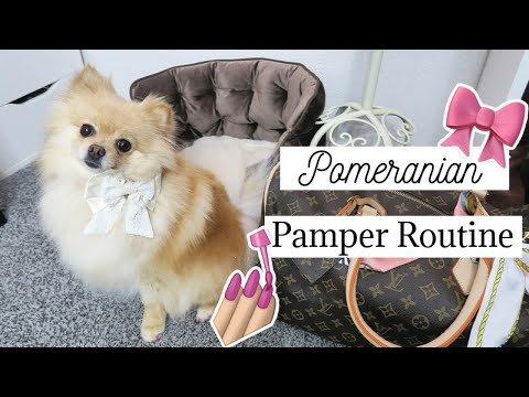 How- To Pamper Routine! Daisy's Spa Day! How I pamper my Pomeranian