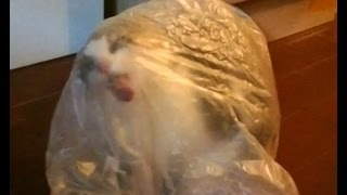 Cat Licking Plastic Bag from the Inside
