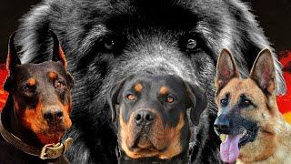 El Padre de todos los Perros Poderosos de Alemania?