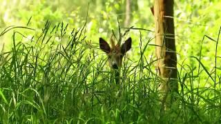 Zwierzęta  Sarny  Koniecznie zobacz  spotkanie z koziołkiem / Who is watching me? /  Wer mich sucht