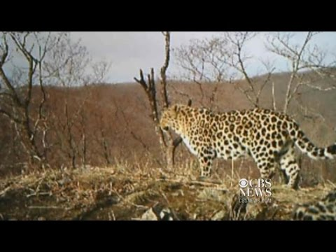 Rare leopard in Russia spotted on camera