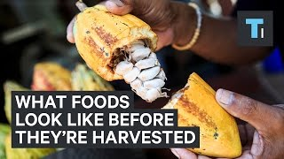 What foods look like before they're harvested