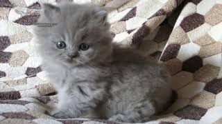 Британская длинношерстная кошечка( хайлендер).