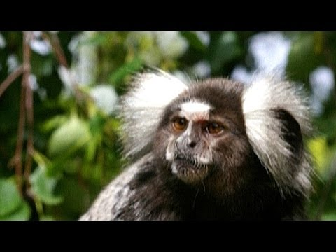 Conmovedor adiós de un mono a su pareja moribunda