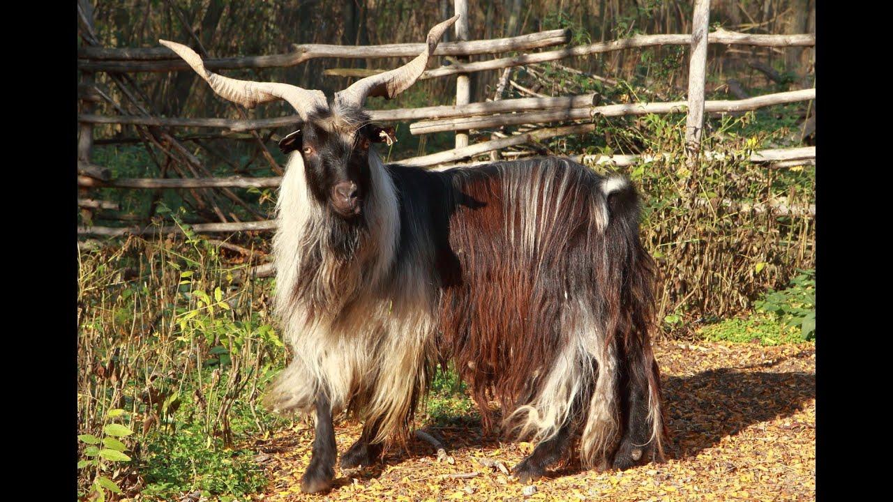 Kecske vagy lapos szarvasmarha féreg
