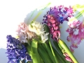 Hyacinthus Flower Painting Tutorial  | Visit to Columbia Road Flower Market