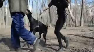 Тест: Защита хозяина. Сука добермана 12 месяцев. Превая проба собаки.