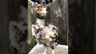 Camera Loving Chick || ViralHog