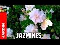 Cómo reproducir Jazmín o Gardenia por esquejes - Parte 1 @cosasdeljardin