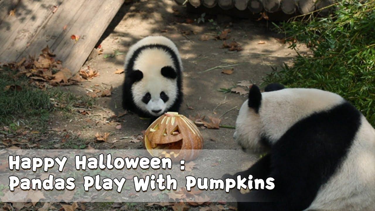 Happy Halloween: Pandas Play With Pumpkins in Shanghai Wild Animal Park | iPanda