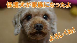 12月25日トイプードルの保護犬が家族になりました。名前はクリスマスに...