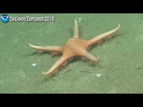 Okeanos Explorer Video Bite: Walking Sea Star