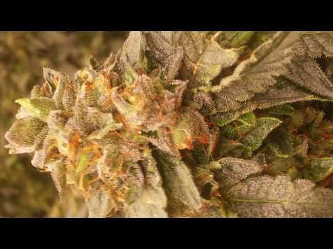 Deep Water Culture Cannabis: Gelato #33, Week 8 flower