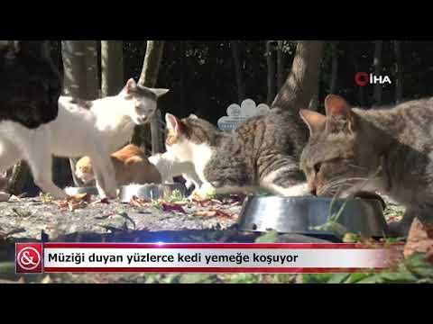 Müziği duyan yüzlerce kedi yemeğe koşuyor   Samsun ve Haber