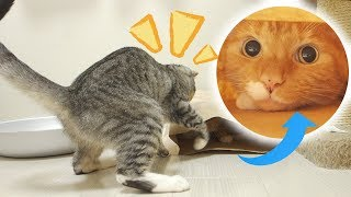 茶トラ猫の「ちゃい」と遊ぶのが好きな、サバトラ猫の「すし」。喧嘩ご...