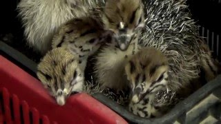 Avestruces asesinados para hacer bolsos Hermès y Prada thumbnail