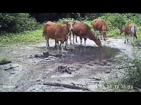 Banteng Thailand's Wild Cattle