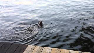 Eddie Goes For A Swim In Portage Lakes