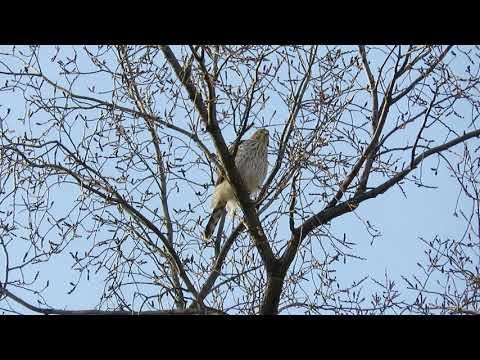 Cooper's Hawk in Tompkins Square Park