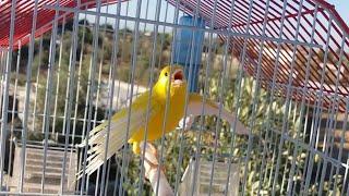 كناري يغرد بشكل خرافي إجباري فراخ الكناري والذكور تغرد معاه لن تصدق سرعة تجاوبه canary