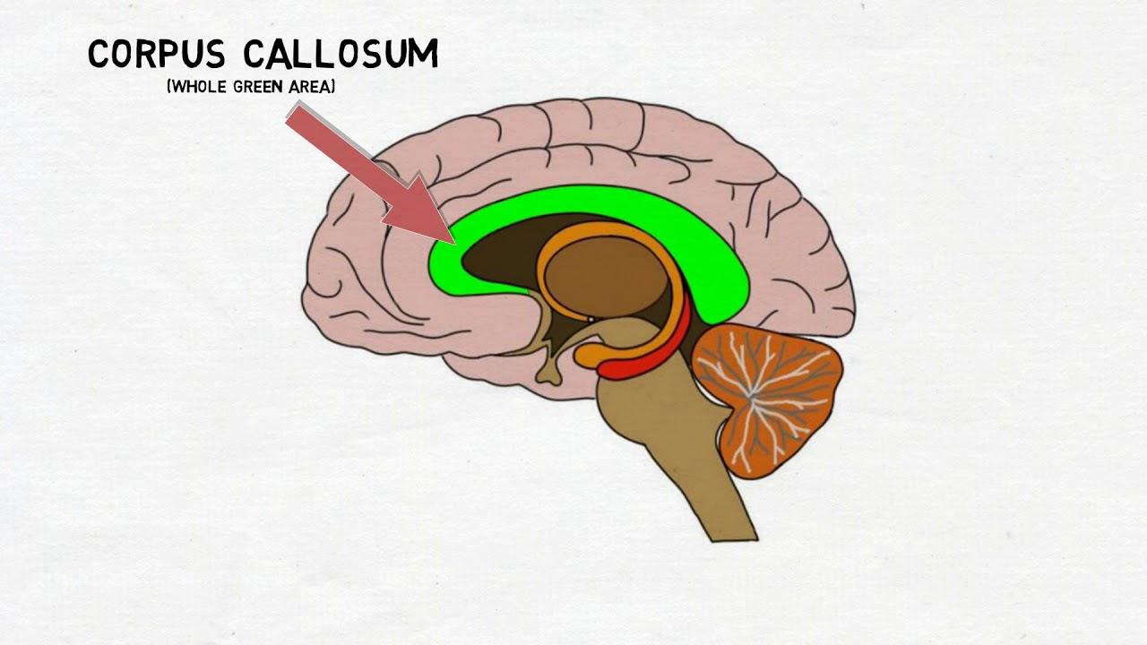 2-Minute Neuroscience: Corpus Callosum - YouTube