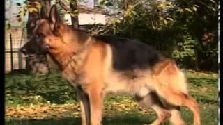 Про породу собак - Немецкая овчарка(Хорошая служебная собака должна быть красивой. Эти и другие качества имеет порода собак - Немецкая овчарка...., 2013-10-12T17:14:08.000Z)