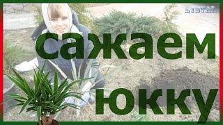 Юкка посадка Как правильно посадить юкку Как выращивать размножать юкку огород сад розарий цветник