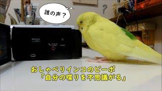 ピーポのお喋りを撮影した動画を飼い主がチェックしていると、ピーポも...