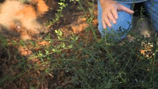 How to Prune Back Winter Jasmine : Fall & Winter Gardening Tips