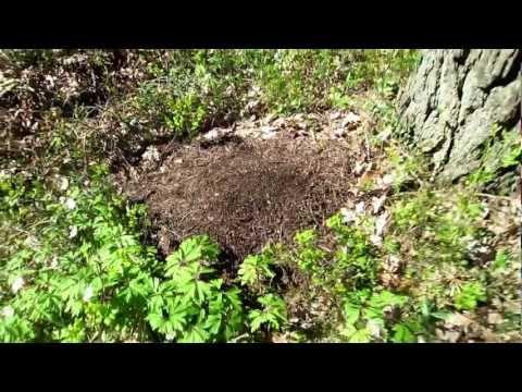 Maurtue med maur