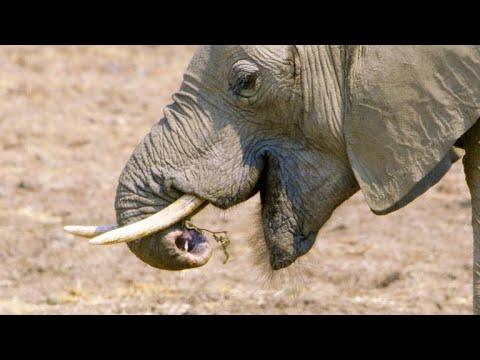 A Disabled Elephant