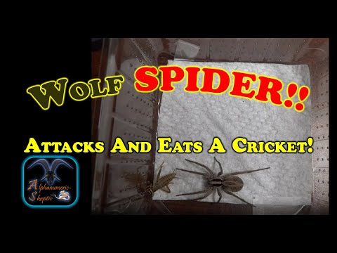 Wolf Spider attacks and eats a Cricket