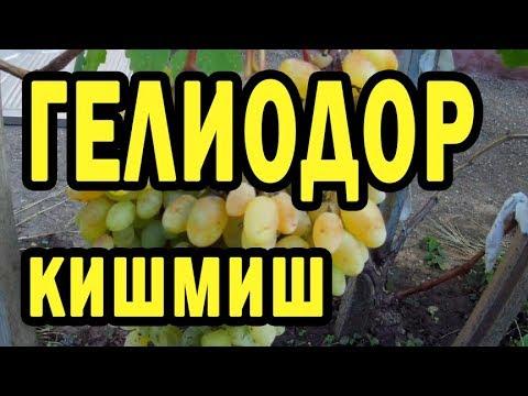 Гелиодор, киш-миш