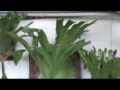 Platycerium holttumii何其美鹿角蕨 (2)