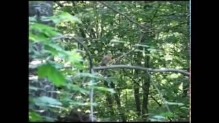 Голоса птиц  Зарянка