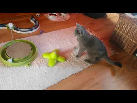British Shorthair Cat: The Butterfly Collector  (episode 15)
