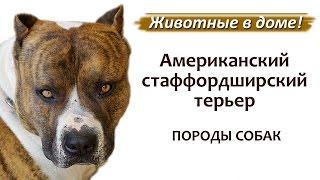 Американский стаффордширский терьер, стаффорд - породы собак.