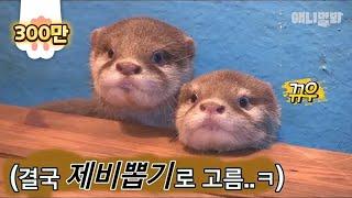 너네 이렇게 다 귀여우면 내가 썸넬 못 고르쟈나.. l BABY Otters Are DEM Cute, I Can't Choose Just One For A Thumbnail..