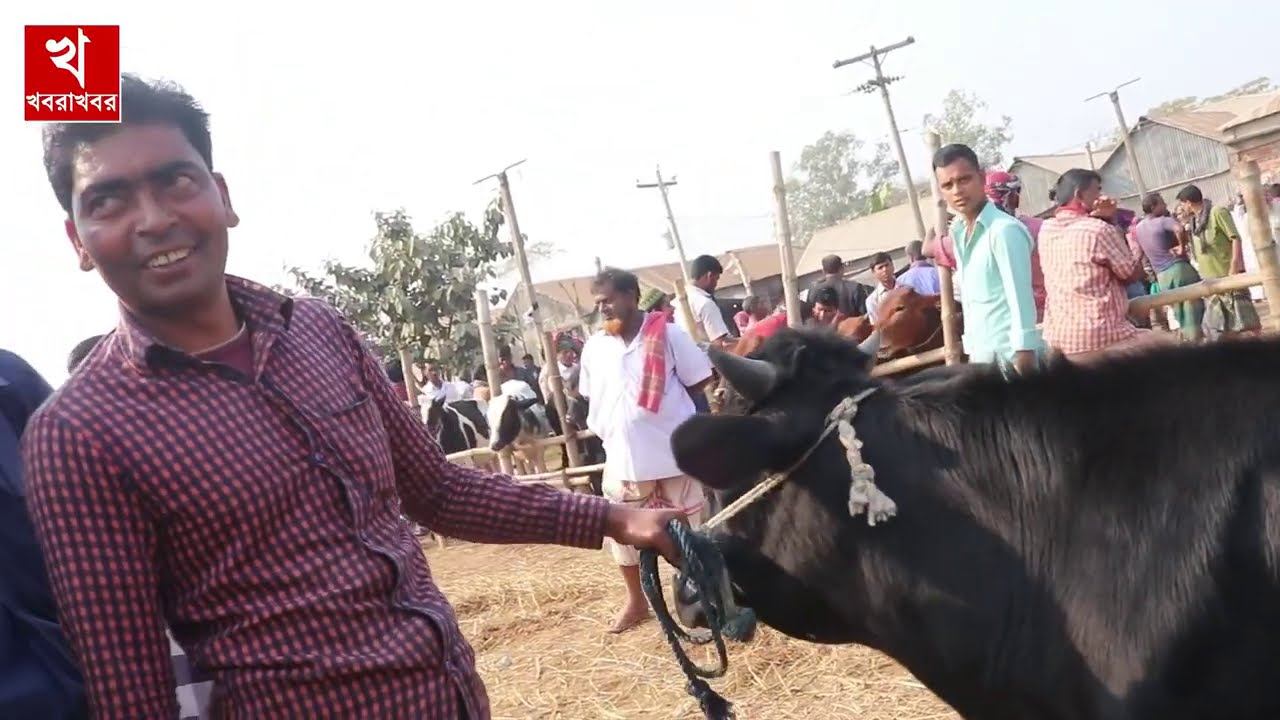 আজ ০৬ আগষ্ট, আগামী কুরবানীতে মোটাতাজাকরণের জন্য ষাঁড় গরুর দাম জানুন | ঢাকা কালামপুর গরুর হাট