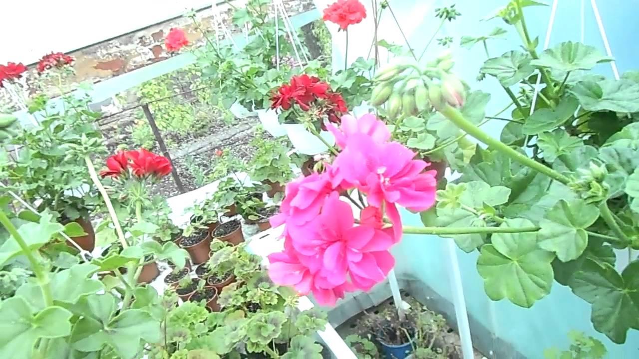 Ампельные цветы - петуния, герань, фуксия и другие - YouTube