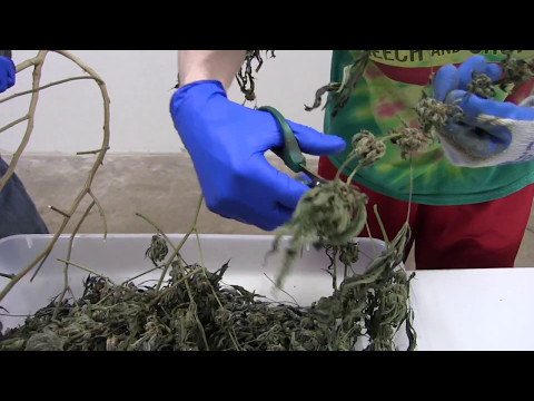 How to Dry, Cure, and Trim Cannabis (Dry Trimming)
