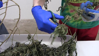 How to Dry, Cure, and Trim Cannabis (Dry Trimming) thumbnail