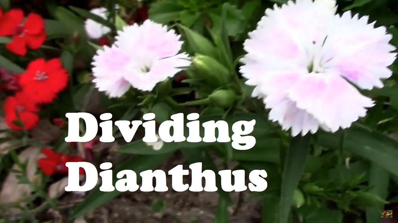Dividing Perennial Dianthus And Starting Them From Cuttings Youtube