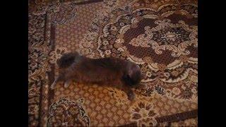 Кошка зовет кота после стерилизации