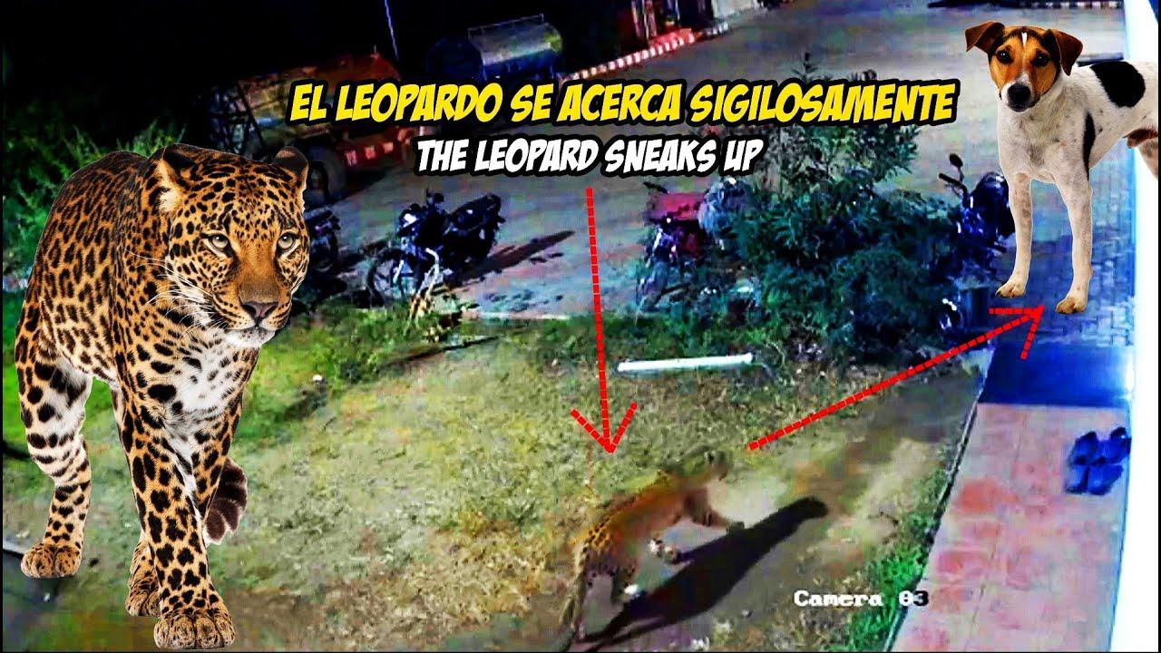 Formidable Encuentro entre un Leopardo y un Perro Poderoso / Leopard vs Dog